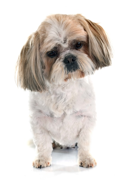 Shih tzu dog Premium Photo