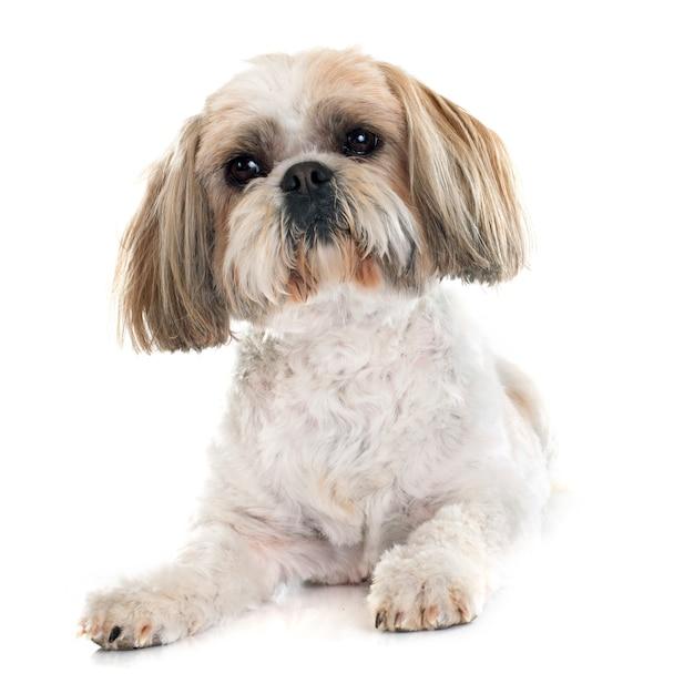 Shih tzu dog Premium Photo