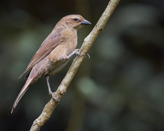 빛나는 Cowbird 나뭇 가지에 자리 잡고 프리미엄 사진