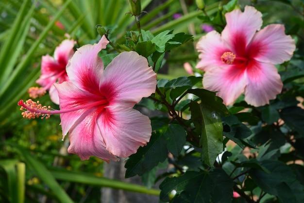 Shoe Flower Hibiscus Chinese Rose Photo Premium Download