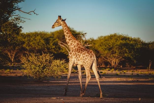 Dietro il tiro di una simpatica giraffa in un campo con alberi corti in background Foto Gratuite