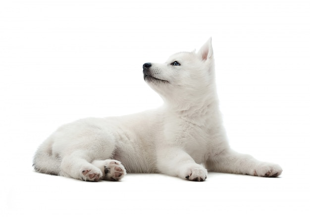 Shot of a cute little white siberian husky puppy lying looking at the copyspace on the side isolated on white. Free Photo