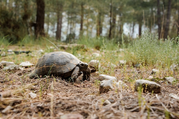Shot of a little tortoise in forest Premium Photo