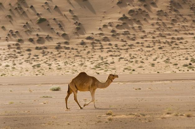 日中砂漠を歩き回るラクダのショット 無料写真