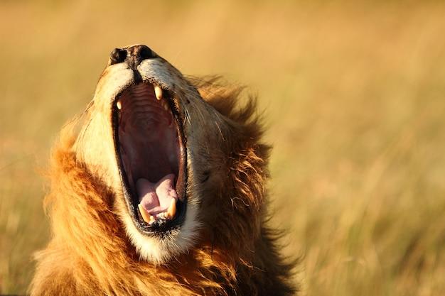 사자 하품 샷 무료 사진