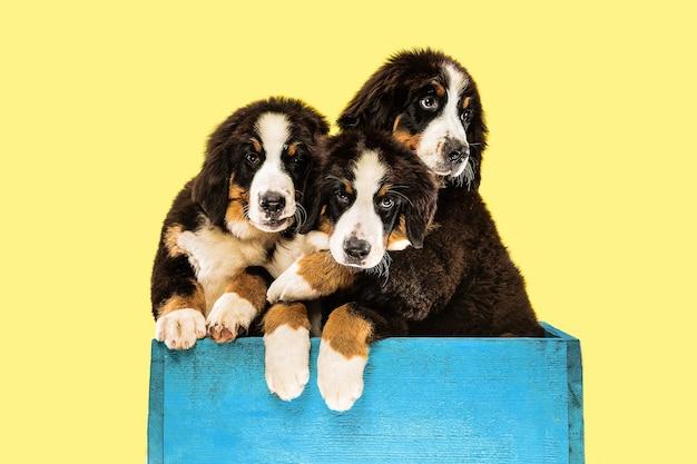 黄色の壁にバーニーズ・セネンハンドの子犬のショット 無料写真