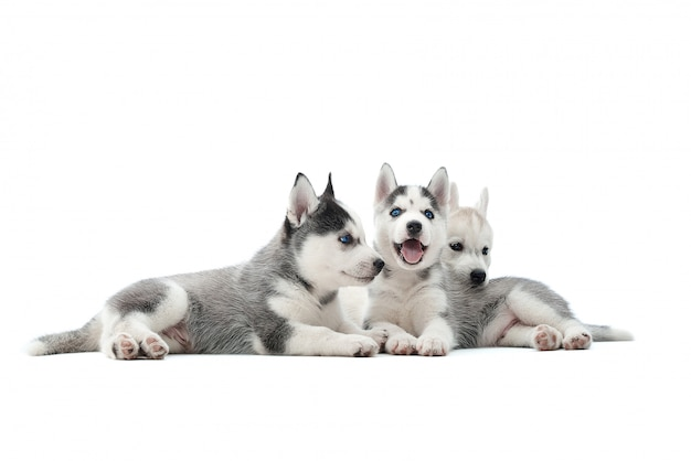 Shot of a three adorable siberian husky puppies lying together isolated on white. Free Photo