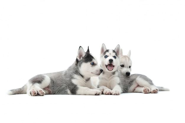 Sparato di tre cuccioli adorabili di un husky siberiano che si trovano insieme isolati sul bianco. Foto Gratuite