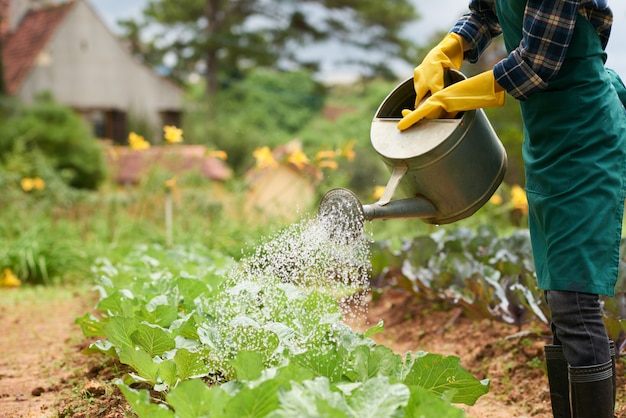 Shot of unrecognizable gardener watering cabbage crop from spray can Free Photo