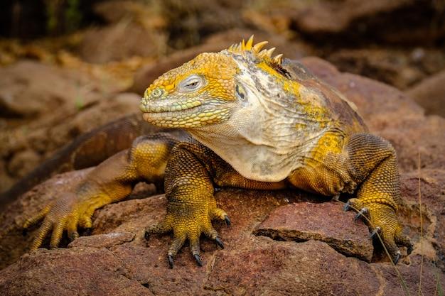 Inquadratura di un'iguana gialla appoggiata su una roccia Foto Gratuite
