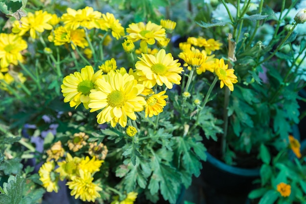 Shrubby Tree With Yellow Flowers Photo Premium Download