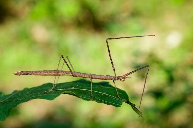 Сиамские гигантские палочки на листьях на фоне природы Premium Фотографии
