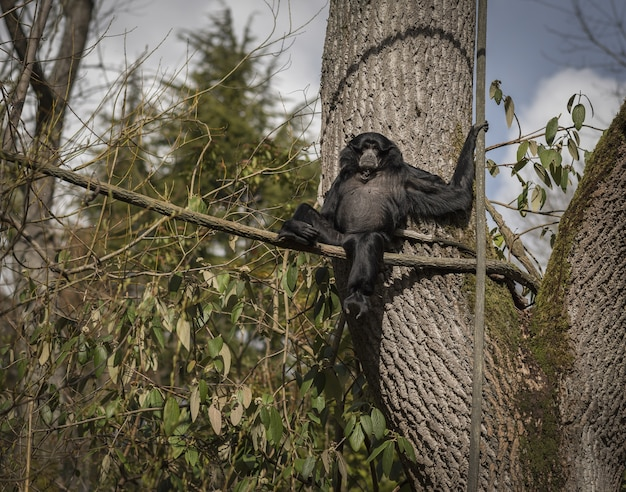 Scimmia siamang Foto Gratuite
