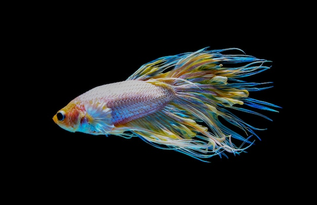 Siamese betta fighting with beautiful colors on black background Premium Photo
