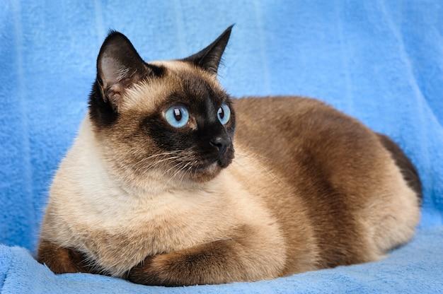 Siamese cat closeup Premium Photo