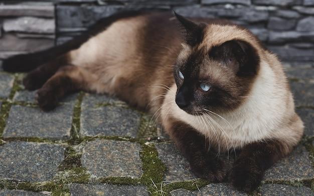 庭にシャム猫が横たわっている Premium写真