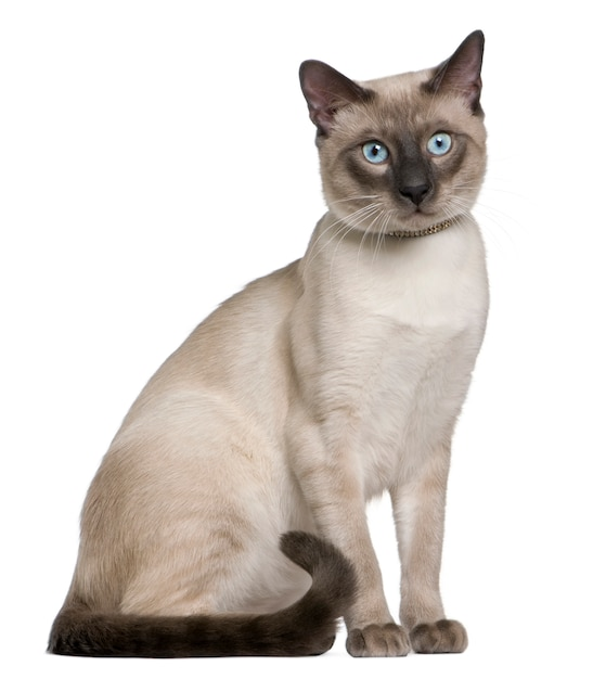 Siamese cat,   , sitting in front of white background Premium Photo