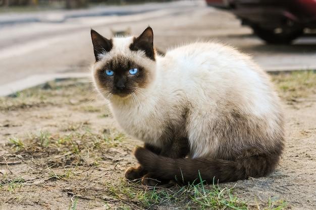 路上で座っている青い目を持つシャム猫 Premium写真