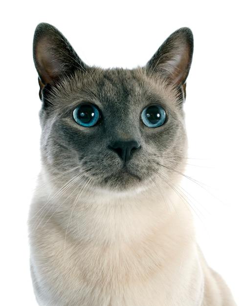 Siamese cat Premium Photo