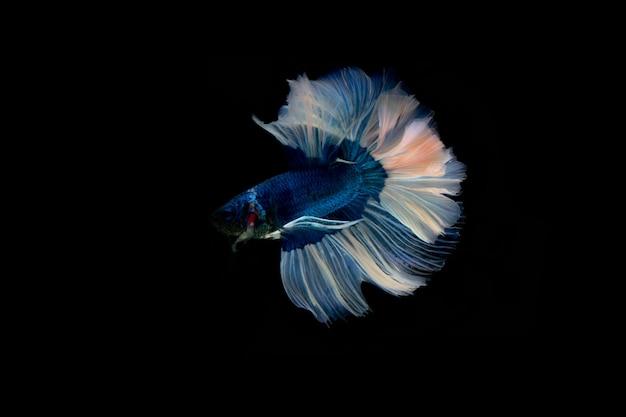 シャムの戦いの魚。黒の背景に分離されたマルチカラーの戦いの魚。 Premium写真