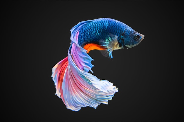 Siamese fighting fish Premium Photo