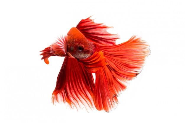 Сиамская рыба Premium Фотографии