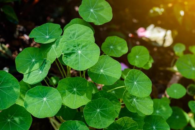 Siatic pennywortは、病気の治療に適応する植物です。 Premium写真