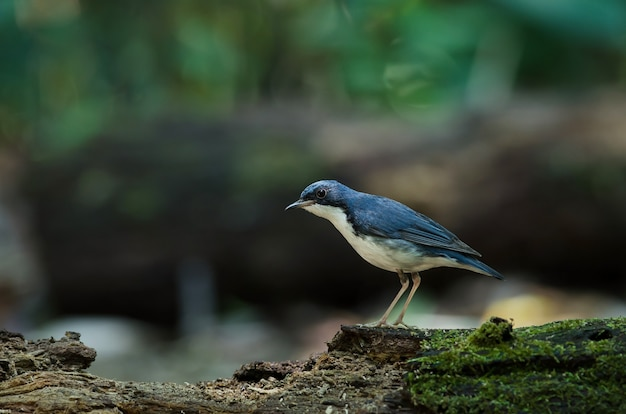 Siberian blue robin (luscinia cyane) the beautiful blue bird standing on the mossy log Premium Photo