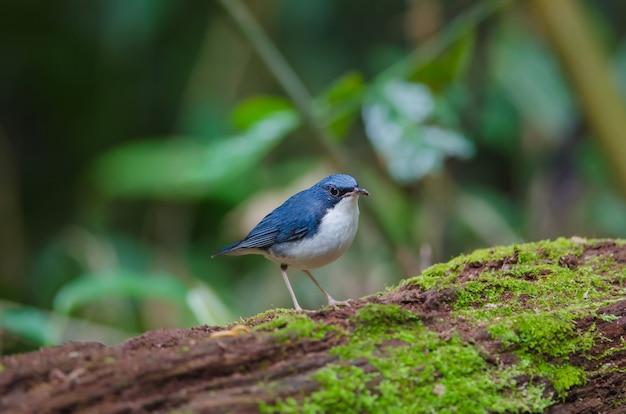 Siberian blue robin (luscinia cyane) the beautiful blue bird standing on the mossy log Premium Photo