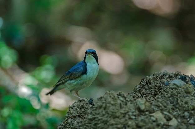 Siberian blue robin (luscinia cyane) the beautiful blue bird standing in nature Premium Photo