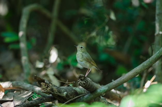 Siberian blue robin (luscinia cyane) Premium Photo