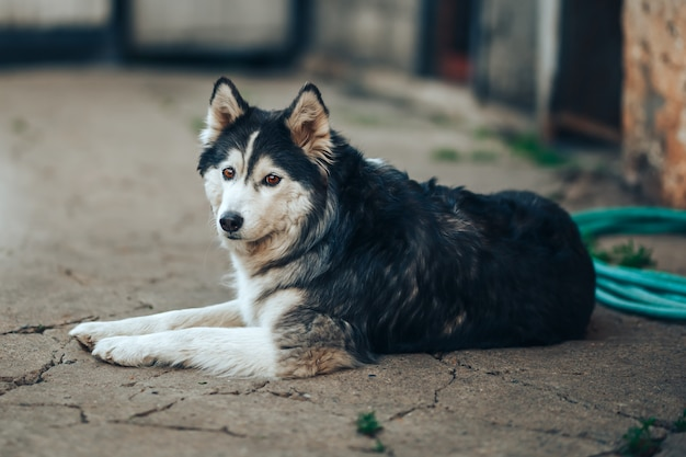 Siberian husky dog black and white with brown eyes lying on yard at home, 8 years old fog Premium Photo