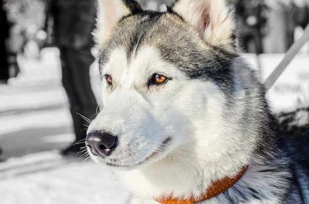 Siberian husky dog. brown eyes. husky dog has black and white coat color. Premium Photo