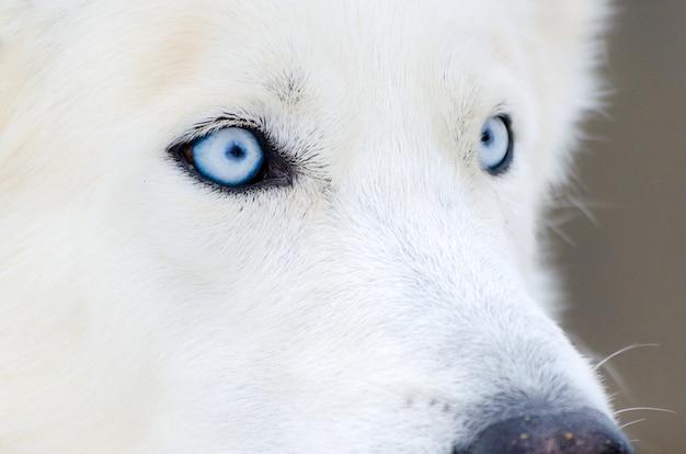 Siberian husky dog close up face with blue eyes. husky dog has pure white fur color. Premium Photo