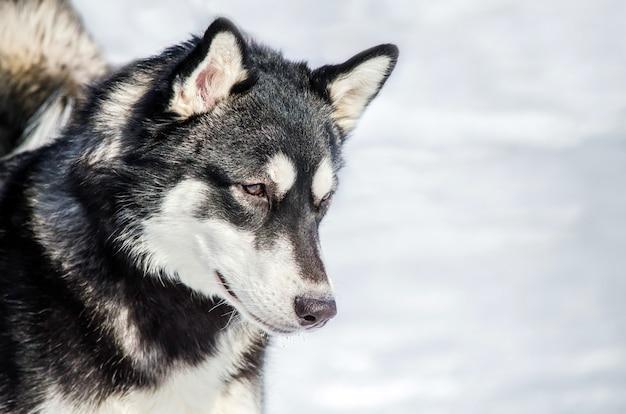 Siberian husky dog looks around. husky dog Premium Photo
