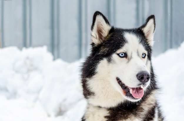 Siberian Husky Dog With Blue Eyes Husky Dog Has Black And White