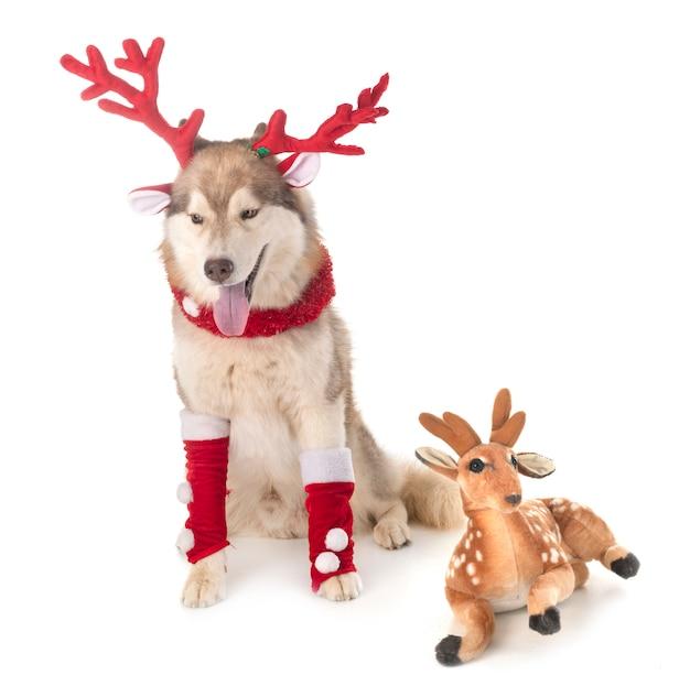Siberian husky dog Premium Photo