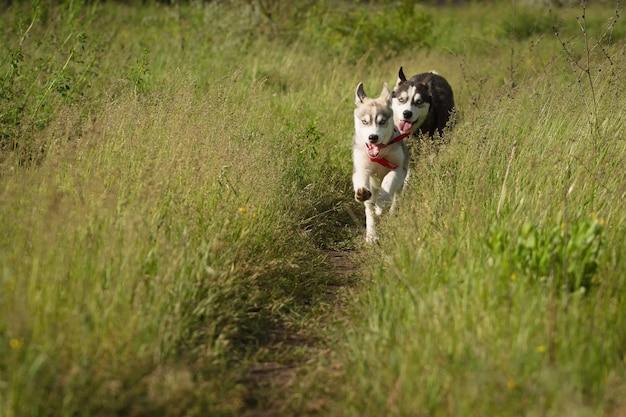 Сибирская лайка играет на траве в поле. щенки и их родители. крупный план. активные собачьи игры. породы северных ездовых собак. Premium Фотографии