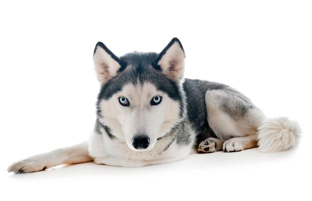 Siberian husky in studio Premium Photo
