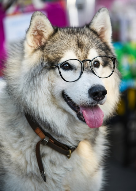 Siberian husky wears glasses sitting on a white chair. Premium Photo