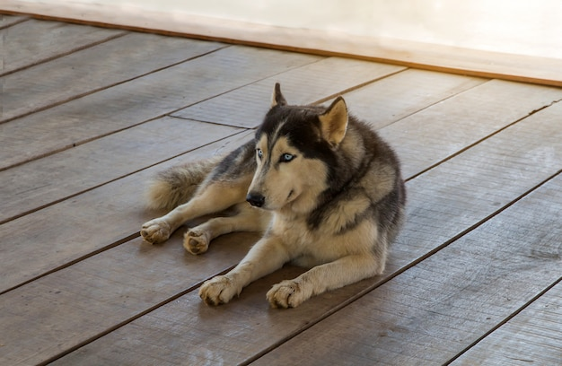 Siberian husky Premium Photo