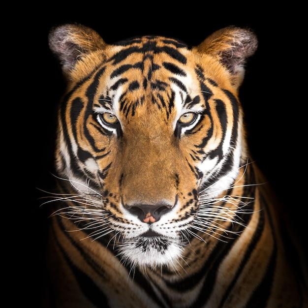 Сибирский тигр Premium Фотографии