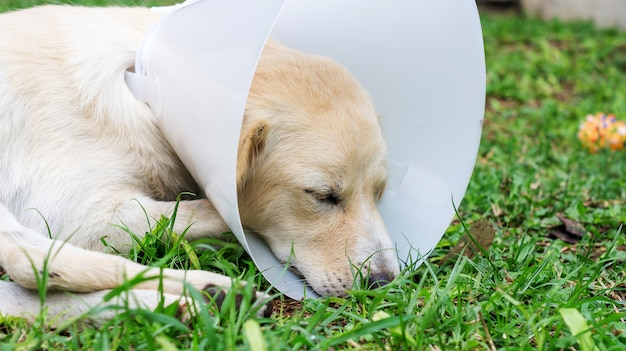 Sick dog wearing a funnel collar and lying on a grass. Premium Photo
