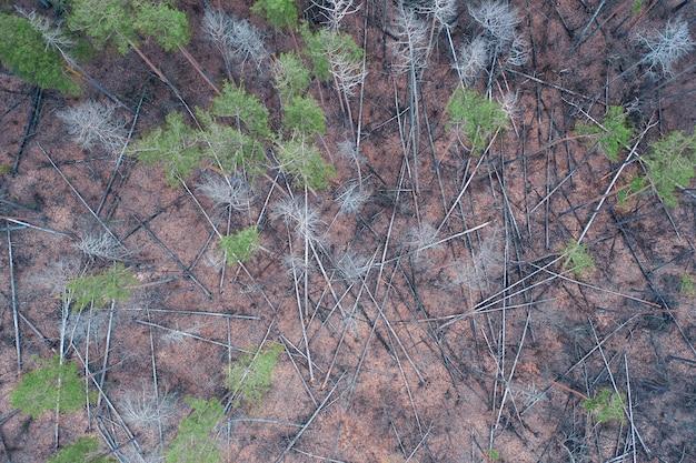 Больные сосны в лесу. многие стволы упавших деревьев лежат на земле. Premium Фотографии