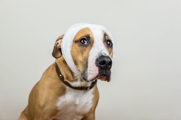 Sick or wounded pet concept. portrait of dog with bandaged head at white background Premium Photo