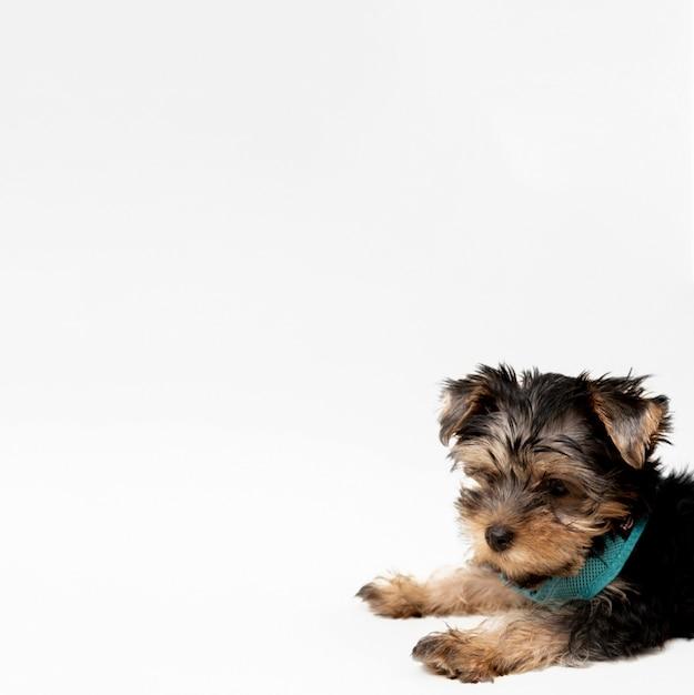 Vista laterale dell'affascinante cucciolo di yorkshire terrier con copia spazio Foto Gratuite