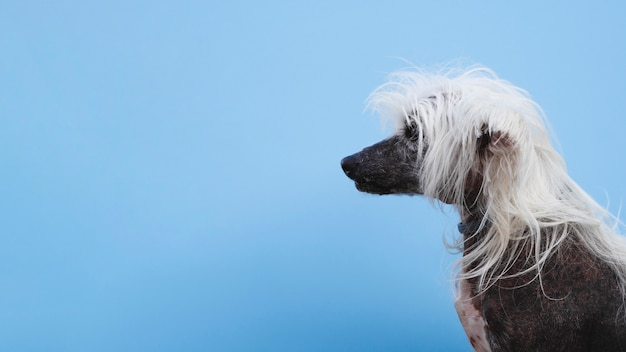 Side view chinese crested dog with copy space background Free Photo