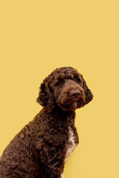 Side view cute poodle dog Free Photo