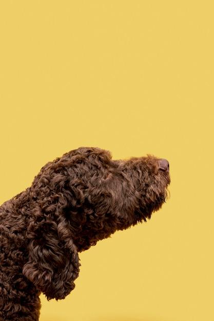 Primo piano del cane di barboncino domestico di vista laterale Foto Gratuite