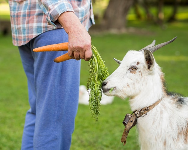 Side view goat eating carrots Free Photo